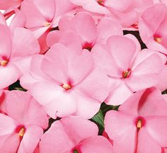 New Guinea Sonic® Light Pink Impatiens