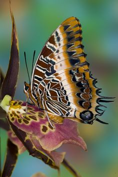 Tropical butterfly, Charaxes pollux, with wings closed photographed by Darrell Gulin