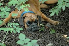 When planting a boxer dog its best to fertilize liberally with tennis balls.