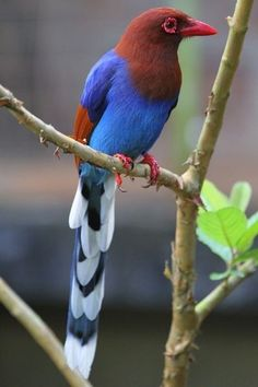 The Sri Lanka Blue Magpie or Ceylon Magpie is a member of the crow family living in the hill forests of Sri Lanka, where it is endemic. This is a species of a dense wet evergreen temperate rain forest. It is declining due to loss of this habitat.