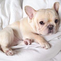 Cream French Bulldog Puppy.                                                                                                                                                                                 More