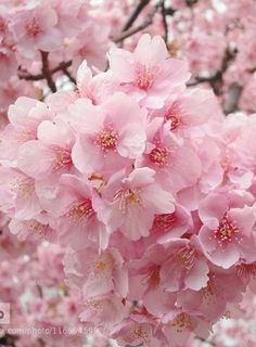 Prayers Please AM This is a thread for all those who are ill and have love ones who are ill. There are so many people in our Commun Cherry Blossom Flowers, Pink Blossom, Blossom Trees, Pink Flowers, Beautiful Flowers, Sakura, Pink Daisy, Flower Aesthetic, Flowers Perennials