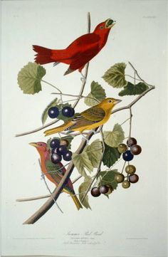 Colorful and detailed, the Global Gallery Summer Red Bird Wall Art boasts an eye-catching scene of birds perched on a branch. From artist John James Audubon, this giclee on canvas wall art piece is museum quality and offered in multiple size options. Audubon Prints, Audubon Birds, Vintage Bird Illustration, Botanical Illustration, Birds Of America, North America, Bird Wall Art, John James Audubon, Vintage Birds