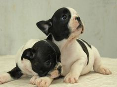 Find images and videos about dog and bull dog frances on We Heart It - the app to get lost in what you love. Cute French Bulldog, French Bulldog Puppies, Dogs And Puppies, French Bulldogs, Doggies, Cãezinhos Bulldog, Animal Books, Hunting Dogs, Terrier Mix
