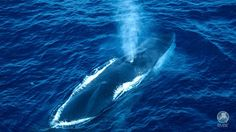 International Fund for Animal Welfare Fin Whale, Whale Facts, Japanese Market, Wale, Whale Watching, Animal Welfare, Dolphins, Manatees, Sharks