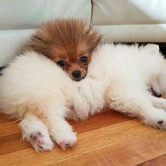 Cute Pommy cuddles