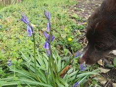 Sniffing the bluebells
