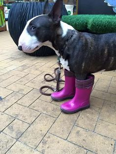 #bullterrier giving the stink eye to whoever put those boots on him