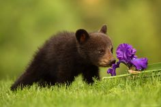 Photo Canon 200-400 L IS Captures Black Bear Cub and an by Bryan Carnathan on 500px