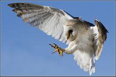 Owl (European Barn) - 0012 by Earl Reinink   Flickr