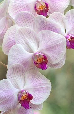 Candy Kiss Orchid   ♥ ♥   www.paintingyouwithwords.com