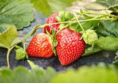 Did you know interplanting vegetables with strawberries can help conceal succulent berries from birds and other garden pests? Here is a robust list of plants that are perfect strawberry companion plants. Strawberry Companion Plants, Strawberry Plants, Grow Strawberries, Strawberry Health Benefits, Strawberry Picking, Strawberry Recipes, Bush Beans, Beneficial Insects, Garden Pests