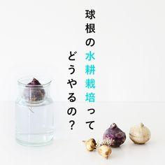 【球根の育て方】気になる球根の「水耕栽培」。socukaさんに伝授してもらいました!