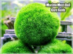 Marimo balls are one of the most popular plants in the aquarium hobby, and they are widely kept as ornamental plants in jars in Japan. The moss balls generate o