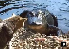 Cat Faces Off With Alligator !! Laplace Louisiana, Funny Animals, Cute Animals, Fishing Videos, Face Off, Animal Faces, Cat Face, Cat Gif, Lions