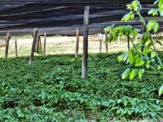 This is one of 200 ginsing farms in Marathon County, WI, the Ginsing Capital of America where climate and soil conditions are ideal. Ginsing grown here is recognized as the finest quality American Ginseng in the world. The ginsing, which takes 7-10 years to mature, must be shielded from direct sunlight, so canopies of black fabric are fashioned over the fields.