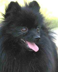 I filled out the adoption application for a black pomeranian today. This isn't the dog but he looks exactly like this one.