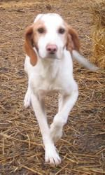Sweet Pea: is an #adoptable Coonhound, Dog in #Lexington, #MASSACHUSETTS