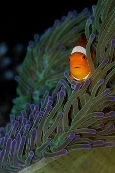 Forget about the cute clownfish. The anemone is beautiful...