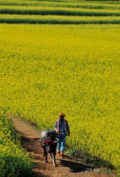 rapeseed field in Luoping, China