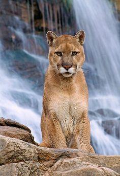 COU 01 01 - Mountain Lion Sitting At Waterfall Utah - Kimballstock Pretty Cats, Beautiful Cats, Animals Beautiful, Big Cats, Cats And Kittens, Jaguar, Animals And Pets, Cute Animals, Wild Animals