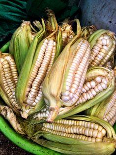 Choclo - giant corn of Peru