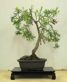 Callistemon-viminalis bonsai - Google Search