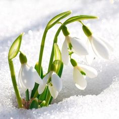 Sparkling Snowdrop Fragrance Oil has notes of orange, bergamot, berries, violet and lilacs. Snow Flower, Gardening Zones, Purple Lilac, Cold Process Soap, Fragrance Oil, Spring Flowers, Spring Time, Early Spring, Gardens
