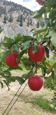 Inspecting Gala apples Apples, Vegetables, Blog, Vegetable Recipes, Blogging, Apple, Veggies
