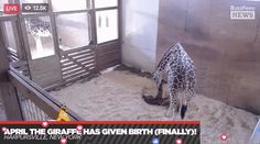 OMFG April The Giraffe Has FINALLY Given Birth To Her Calf