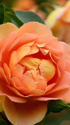Lovely Peony - Feed your plants with GrowBest from… Amazing Flowers, My Flower, Flower Power, Beautiful Flowers, Peach Peonies, Dame Nature, Love Garden, Orange Flowers, Pale Orange