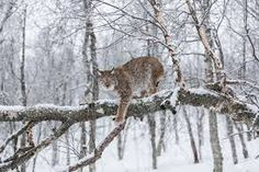 But there is some good news: conservation measures including the preservation of habitat and strict controls on hunting have led to population increases in Europe for the brown bear, grey wolf and Eurasian lynx (pictured), which has increased by since Eurasian Lynx, Lynx Lynx, Caracal Cat, Predator Hunting, Snowy Trees, Wildlife Conservation, Nature Animals, Wild Animals, Livestock