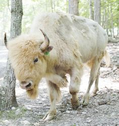 Custer, a rare white bison, arrived at the Morristown park three weeks ago in a cattle trailer from North Dakota, a welc Buffalo S, Buffalo Animal, Beautiful Creatures, Animals Beautiful, White Bison, Rare Albino Animals, American Bison, North American Animals, Native American