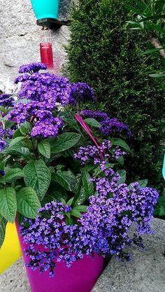 Vanille.... Alte Blüten immer abschneiden
