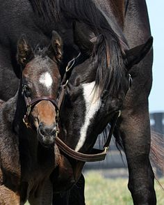 Zenyatta, the horse I love!!2010 Horse of the Year with her 2012 Bernardini colt.