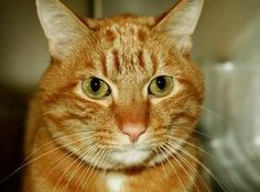 C TRAIN is an adoptable Domestic Short Hair Cat in New York, NY. A volunteer writes: Its hard to believe C Train is a senior 12 yr old cat. He is full of life. So loving and friendly. He waits patient...