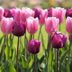 Tulip 'Early Glory' and Tulip 'Negrita'