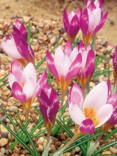 Plant Guide: Short Plants for Sun First Flowers Of Spring, Spring Blooms, Sun Plants, Hardy Plants, Full Sun Perennials, Purple Perennials, Short Plants, Hardscape Design, Plant Guide