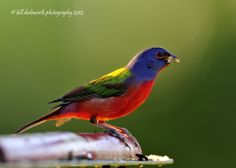 images of florida birds | Painted Bunting | Birds of Florida