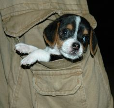 pocket beagles soooo cute....... I wish we had a house again so i can have a pocket beagle..... O welll i can wait