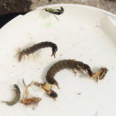 """49 Likes, 1 Comments - Junji Ito (@nffsjj) on Instagram: """"群馬遠征ヤマメストマックの中身(一匹目)。カディスピューパにヒゲナガラーバ。目についたのはフタバコダンだっただけに意外な結果。 #群馬 #フライフィッシング #flyfishing"""""""