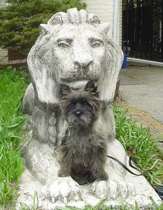 MyManMerlin, our Cairn Terrier.