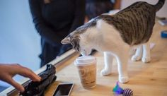 For cat lovers with their fur flattened by all those viral adorable-dog videos, New York City's first cat cafe just might give them a reason to purr. Although the Meow Parlour (yes, . Cat Cafe, Cute Dogs, Cat Lovers, Adoption, Kitten, Dog Videos, Vacation Ideas, Cats, Healthy Living