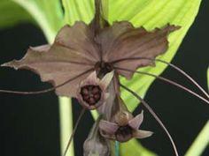 TACCA CHANTRIERI  Black Bat Flower