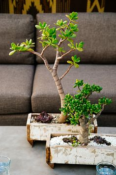 I'm fascinated by succulent bonsai! They are so interesting!
