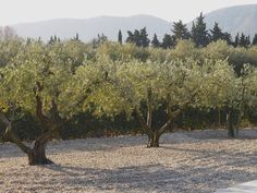 topped olive trees
