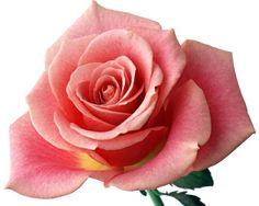 214F3E3A516AD0FF02783E 393392  Flowers  Pinterest  Rosas