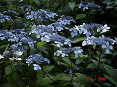Grow Hydrangea from Cuttings. I want hydrangeas along the back fence - maybe under the trees and trim the trees