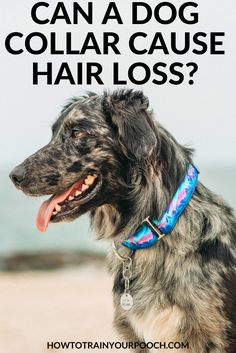 I you're used to putting a collar on your dog, or you use a dog training collar, you might be wondering if a dog collar can cause hair loss in your pooch. Read on to find out. E Collar Training, Off Leash Dog Training, Best Dog Training, Best Bark Collar, Bark Collar Reviews, Dog Shock Collar, Sick Dog, Dog Fence, Dog Runs