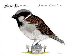 House Sparrow by Diana Sudyka